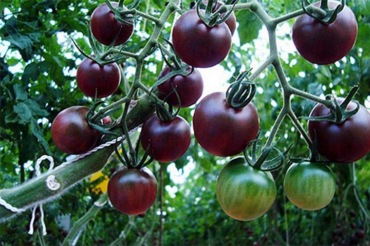 黑番茄的功效与作用!